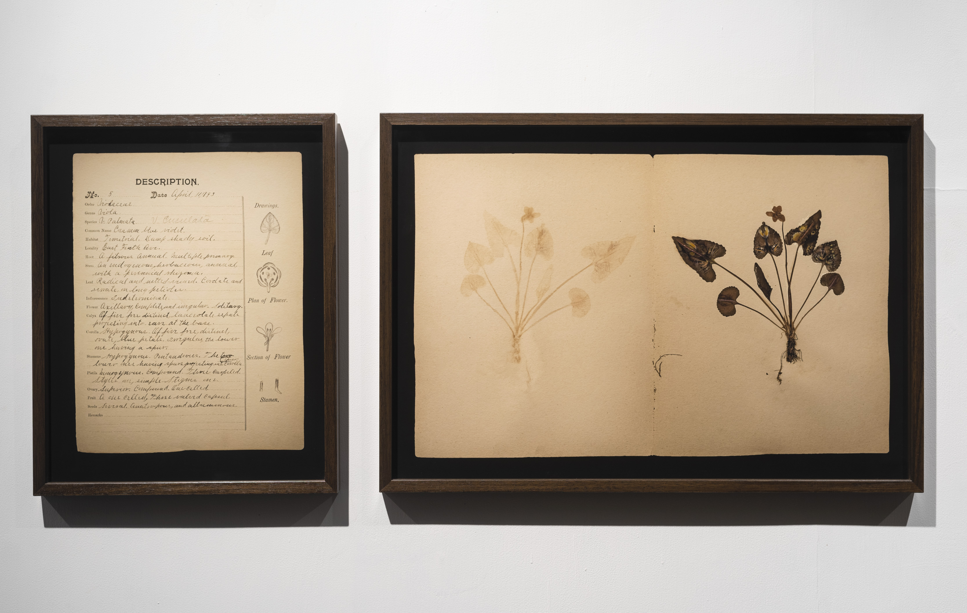 Page3 of the  Atlas Phaenogamia or the Atlas of Mimetic Flowering Plants | installation view | image credit Anil Rane, courtesy Project 88, Mumbai